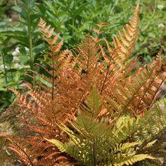 Autumn Fern - Dryopteris erythrosora is a perennial evergreen, herbaceous fern. Fern Frond, Tree Fern, Fern Plant, Trees To Plant, Water Garden, Garden Plants, Buy Plants, Shade Garden, Potted Plants