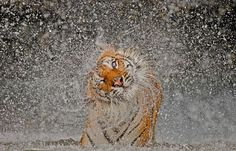 BUSABA, a well cared for Indochinese Tigress whose home is at Khao Kheow Open Zoo, Thailand  (weather.aol.com)
