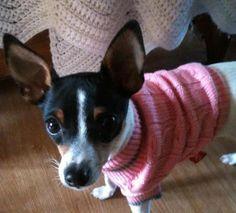 Gidget. My toy fox terrier dog.