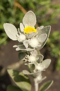 Inula verbascifolia by NYBG, via Flickr