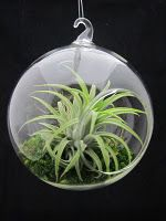 hanging vase with air plant (check West Elm)