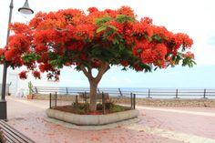 El framboyán árbol presente en toda Cuba