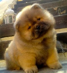 Chow Chow puppy. It's so fluffy, i'm gonna die!!! Me wants a teddy bear like this one. :)