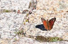 Animais/borboleta