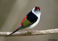 The Pin-tailed Manakin (Ilicura militaris) is a species of bird in the monotypic genus[citation needed] Ilicura of the family Pipridae. It is endemic to Brazil. Kinds Of Birds, Birds 2, Birds Of Prey, Wild Birds, Love Birds, Exotic Birds, Colorful Birds, Pretty Birds, Beautiful Birds
