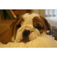 English Bulldog puppy cuddles