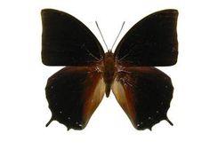 Black Rajah (Charaxes setan) 6.5 cm Australasia