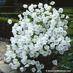 A luminescent perennial for container gardening. White Clips is the white version of the famous Blue Clips; they make a great display together. 8 to 12 inches tall. (Campanula carpatica)