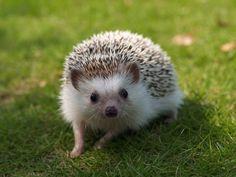 Hedgehogs-hd-photo.jpg (1600×1200)