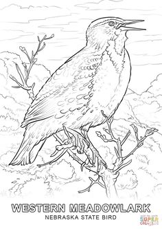 Kansas State Bird Coloring Page From Category Select 24659 Printable Crafts Of Cartoons Nature Animals Bible And Many More