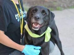 TO BE DESTROYED 7/12/14 Brooklyn Center -P  My name is MAX. My Animal ID # is A1005415. I am a neutered male black and white labrador retr and flat coat retr mix. The shelter thinks I am about 7 YEARS old. I came in the shelter as a STRAY on 07/02/2014 from NY 11218, owner surrender reason stated was STRAY. …