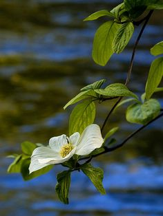 Title  Dogwood On The Merced   Artist  Bill Gallagher   Medium  Photograph - Print