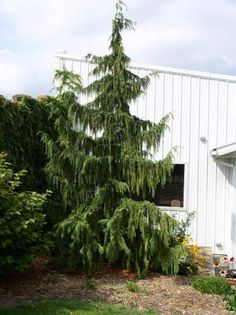 ornamental trees. weeping nootka