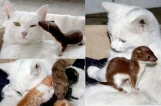 A pregnant cat adopted a little orphan weasel ....When the cat mama was giving birth, she cuddled with the little weasel whenever it bumped into her belly. She never let it out of her sight wherever she went. Cat mama nursed and cleaned the little weasel