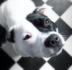 What a photo! Gorgeous pitbull