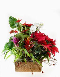 www.carolinabouquet.com cesta de ratán con plantas varias de interior. con motivos navideños