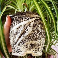 Air Plants, Indoor Plants, Easy House Plants, Chlorophytum, House Plant Care, Group Boards, Garden Care, Container Plants, Indoor Garden