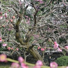 "【socialegli】さんのInstagramをピンしています。 《Hibiya Park - Japan Foto : ISO-125, F/6.3, 1/125 sek. GPS : 35°40'27.4""N 139°45'23.5""E #nofilter #cherryblossoms #selfie #japan #travel #tokyo #nikon1v1 #instatravel #instalike》"