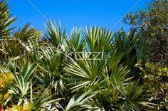 Palm Plants - Tropical plants at palm beach.