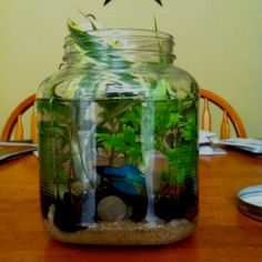 1000 images about goldfish betta bowls on pinterest for How big can a betta fish get