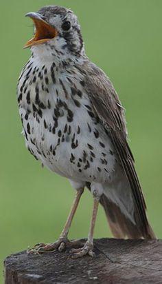 Turdidae - Bird Watching,Resources for Bird Watching by the Fat Birder