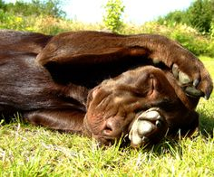 Rolling in the Grass ~ Chocolate Lab Cute Puppies, Dogs And Puppies, Doggies, I Love Dogs, Puppy Love, Labrador Retriever, Doberman Mix, Labrador Chocolate, Brown Dog