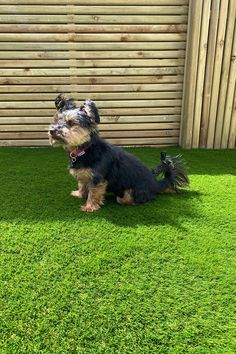 The Best Artificial Grass for Dogs (and Pets) Can You Have Artificial Grass With Dogs? Most definitely! Dogs love artificial grass as much as humans. It's extremely durable and scratch-resistant, stain and water-resistant and makes it easy to clean up messes Artificial grass is 100% animal-friendly. Long-lasting, hard-wearing and pet friendly, this 40mm artificial grass has a longer pile height than other grasses in our range, making it feel and look just like a real lawn. Artificial Grass For Dogs, Fake Grass, Spring Technology, Grasses, Dog Love, Green Colors, Lawn, Range, Good Things
