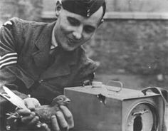 During World War II homing pigeons were seconded into the National Pigeon Service from Britain's fanciers including one from the Royal Lofts...