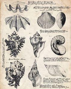 Ideas for bath room vintage printables botanical prints Foto Transfer, Shell Collection, Shell Art, Botanical Prints, Vintage Botanical Illustration, Victorian Illustration, Beach Themes, Vintage Images, Vintage Prints