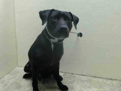 TO BE DESTROYED - 01/06/15 Brooklyn Center -P  My name is ACES. My Animal ID # is A1023865. I am a male black and white labrador retr and am pit bull ter mix. The shelter thinks I am about 4 YEARS old.  I came in the shelter as a SEIZED on 12/22/2014 from NY 11433, owner surrender reason stated was OWN EVICT.