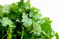 Coriander, cilantro or Chinese parsley is a savory-leaved herb used to flavor many dishes. Learn how to grow coriander/cilantro in a greenhouse! Cilantro Plant, Coriander Cilantro, Coriander Leaves, Coriander Seeds, Cilantro Chutney, Freezing Cilantro, Growing Coriander, Cilantro Growing, Medicinal Plants