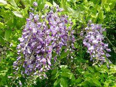 Japanese wisteria #flower