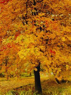 ASH TREE, AUTUMN FOLIAGE, PEAK DISTRICT NATIONAL PARK, DERBYSHIRE, ENGLAND