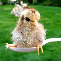 A Spoonful of Sugar - One week old serama chick.