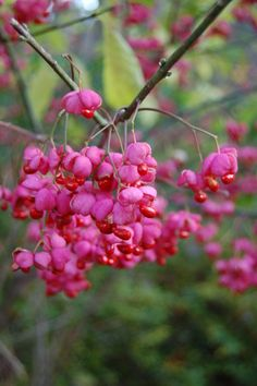 Strawberry Bush (Hearts a Burstin). Native to Japan, China and Korea. Shade to Partial Shade. Strawberry Bush, Strawberry Patch, Euonymus Alatus, Butterfly Tree, Landscaping Jobs, Garden Trees, Trees And Shrubs, Garden Spaces, Exotic Flowers