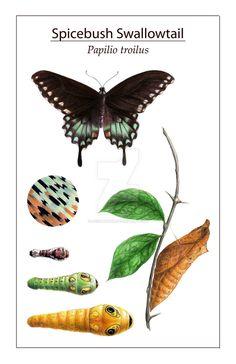 Spicebush Swallowtail Cycle Illlustration