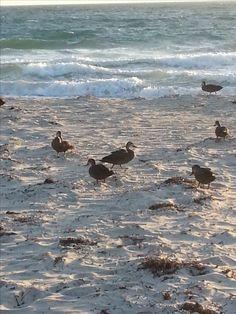 Ducks on Beach, Hillarys, WA