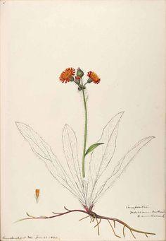 206594 Hieracium aurantiacum L. / Sharp, Helen, Water-color sketches of American plants, especially New England,  (1888-1910) [Helen Sharp]