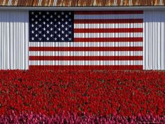 size: Photographic Print: US Flag on Barn and Tulip Field, Skagit Valley, Washington, USA by William Sutton : Artists I Love America, God Bless America, American History, American Flag, American Pride, Patriotic Pictures, Sea To Shining Sea, Tulip Fields, Washington Usa