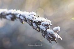 AlexandraValentovic / Zmrznutá Levanduľa Levander winter