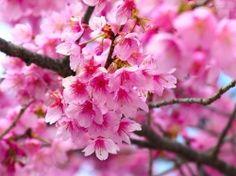 """""""O que é Flor de Cerejeira: Flor de CerejeiraFlor de Cerejeira significa a beleza feminina e simboliza o amor, a felicidade, a renovação e a esperança. É uma flor de origem asiática, conhecida como """"Sakura"""", a flor nacional do Japão, onde estão documentadas mais de 300 variedades de cerejeiras."""""""