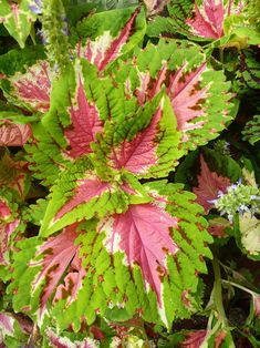 Besides plenty of flowers that are pink, many houseplants, as well as outdoor plants, have exciting pink-hued foliage. Here are 15 plants with beautiful pink leaves sure to brighten your home or garden. Pink Leaf Plant, Peacock Plant, Zebra Plant, Real Plants, Exotic Plants, Indoor Fairy Gardens, Household Plants, Plants Delivered, Pink Leaves