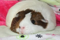 A very fat hamster or is it a guinea pig? Either or it is still cute