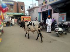 Cows rule in India