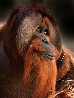 Let's Go Wild — The Orangutan of Asia Orangutan hands are similar...