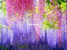 Handy 20//40Pcs Fragrant Seeds Fragrant Purple Wisteria Vine Tree Flower LE