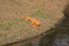 This alligator covered in mud looks orange http://ift.tt/2kSGLLf