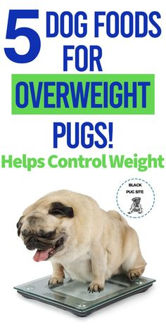 Is your Pug too fat? Control their weight with these healthy dog foods! Diy Dog Treats, Healthy Dog Treats, Best Dog Food, Best Dogs, Pug Health Problems, Dog Travel Crate, Pug Accessories, Types Of Dog Food, Old Pug