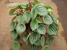 Watermelon peperomia How to grow care: https://www.houseplant411.com/houseplant/peperomia-caperata-how-to-grow-care-tips