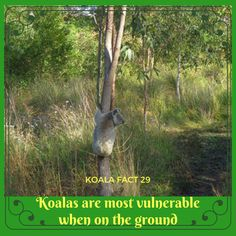 If there were more trees, koalas wouldn't get down on the ground at all. That would make them very happy! Our Planet, Applique, Core, September, Cute Animals, Trees, Australia, Facts, Happy